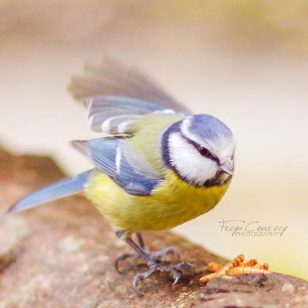 Blue tit by FreyaPhotos