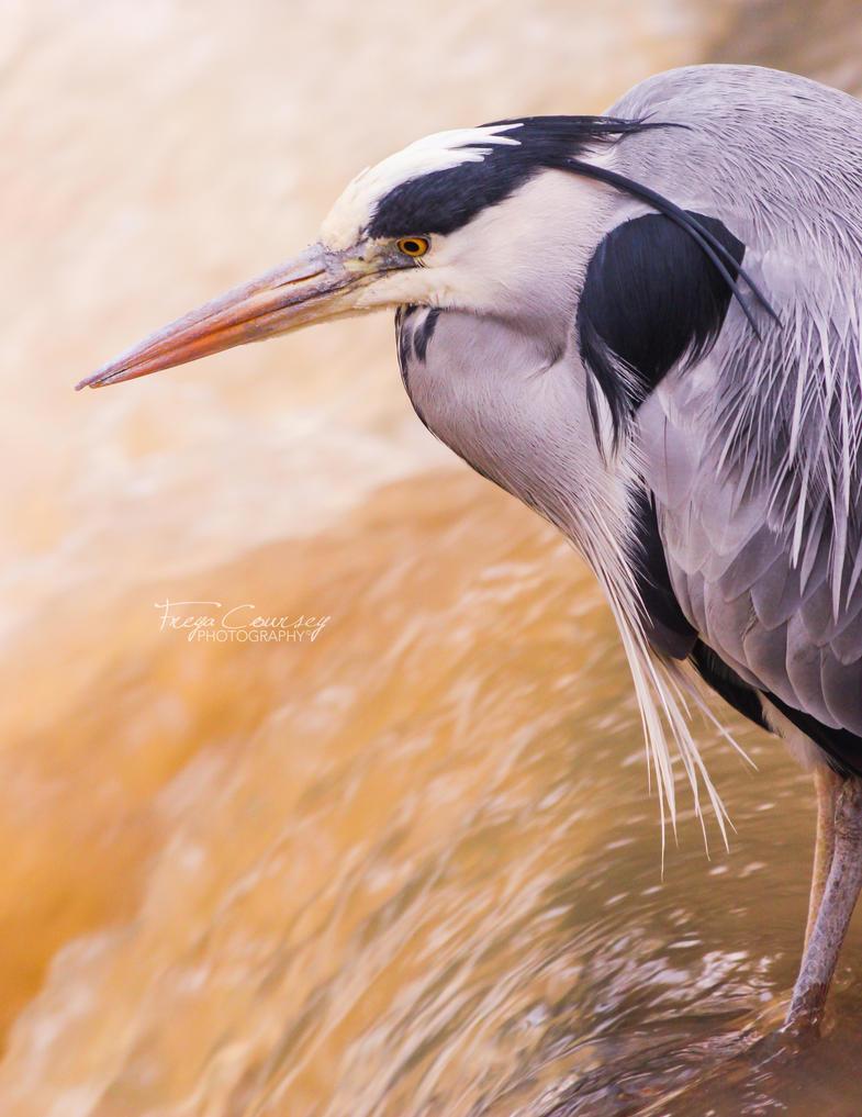 Heron by FreyaPhotos