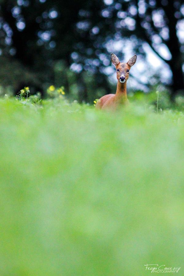Roe Deer by FreyaPhotos