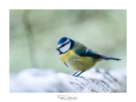 Blue tit by FreyaPhotos