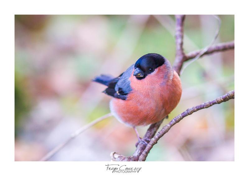 Bullfinch by FreyaPhotos