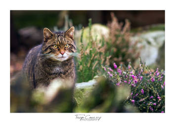 Scottish Wildcat by FreyaPhotos