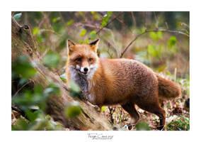 Fox by FreyaPhotos