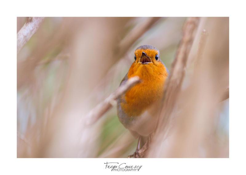 Robin melody by FreyaPhotos