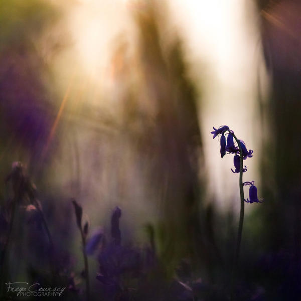 Bluebells by FreyaPhotos