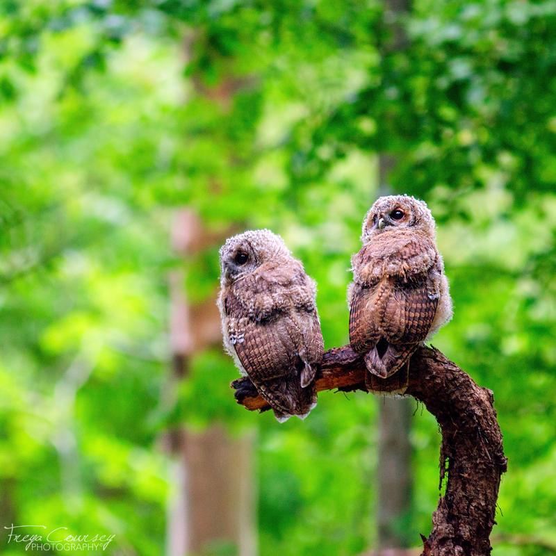Tawny Owlets by FreyaPhotos