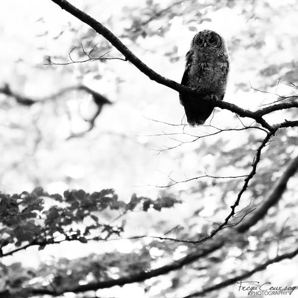 High key owl by FreyaPhotos