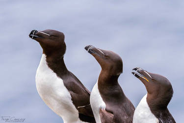 Three Razorbills by FreyaPhotos
