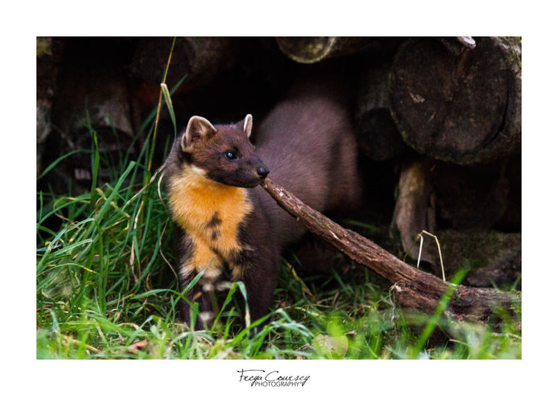 Pinemarten by FreyaPhotos
