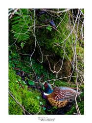 Pheasant by FreyaPhotos