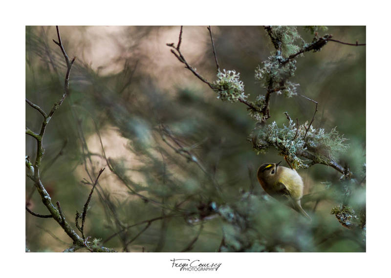 Goldcrest by FreyaPhotos