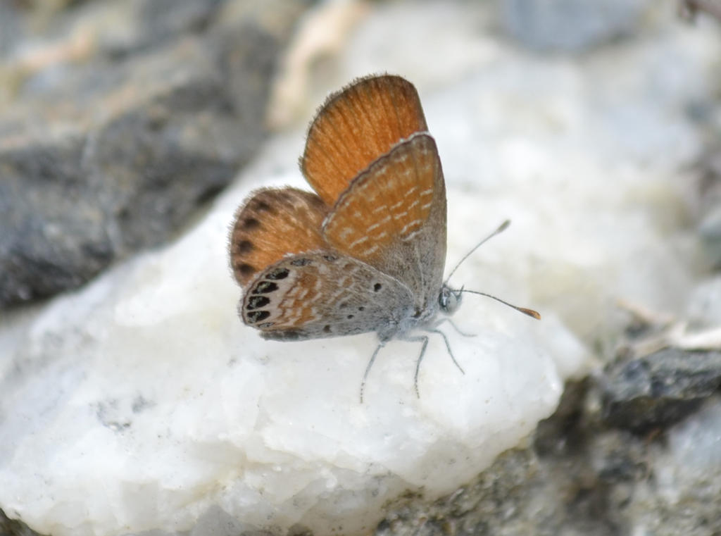 Western pygmy blue butterfly - photo#25