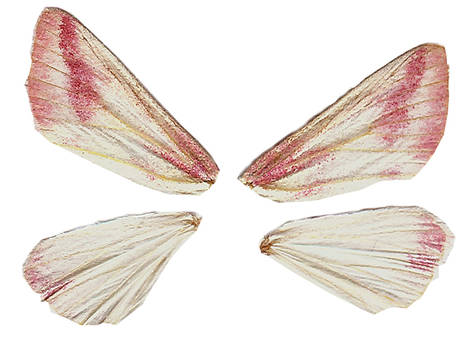 Pink Tinged Wings