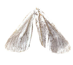 Taupe Wings