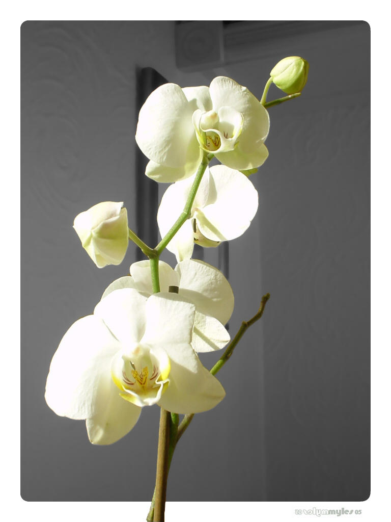 Sunlit Orchid by cubemb