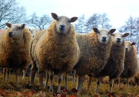 sheep 3 by joopmilder