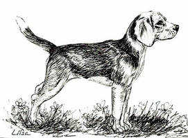 Beagle by happytimer
