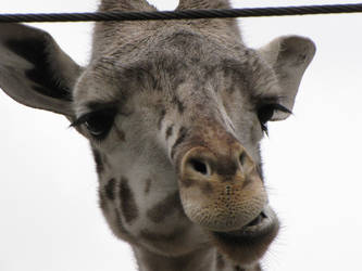 Mr. Giraffe by silvercollaredwolf