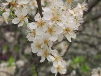 April Blossoms by silvercollaredwolf