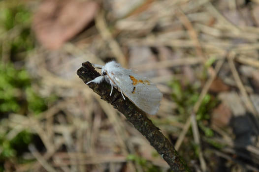 Moth - leucodonta bicoloria