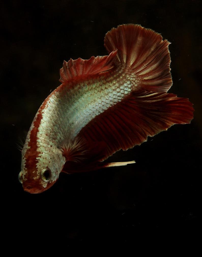 how to breed betta fish pdf