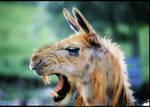 Llama cross lion by wubalicious