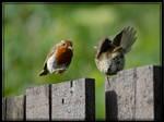 robins by macbeardo