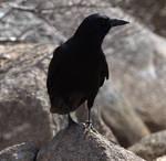 Acadian Crow
