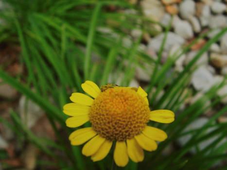 spiderflower2