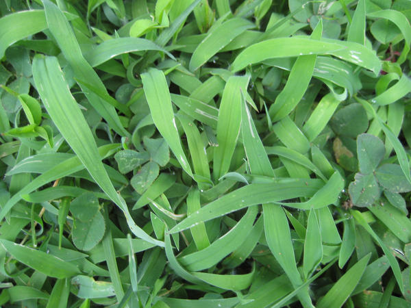 Grass Texture 3-Crabgrass by ErrantDreams