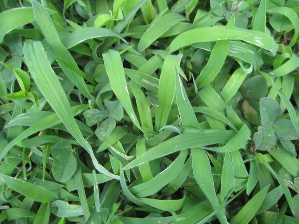 Grass Texture 3-Crabgrass