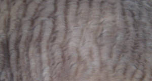 Fur Texture 2-Seal Point