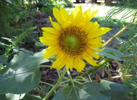 Sunflower II by ErrantDreams