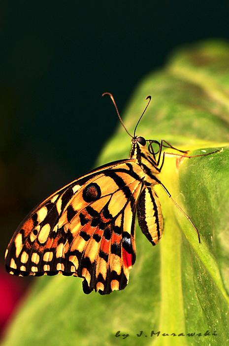 butterfly by Murawski