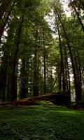 Redwoods 04