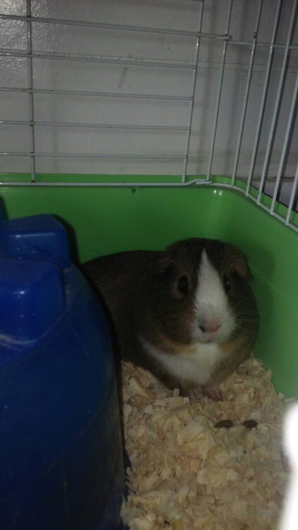 Chillin' Guinea Pig :)