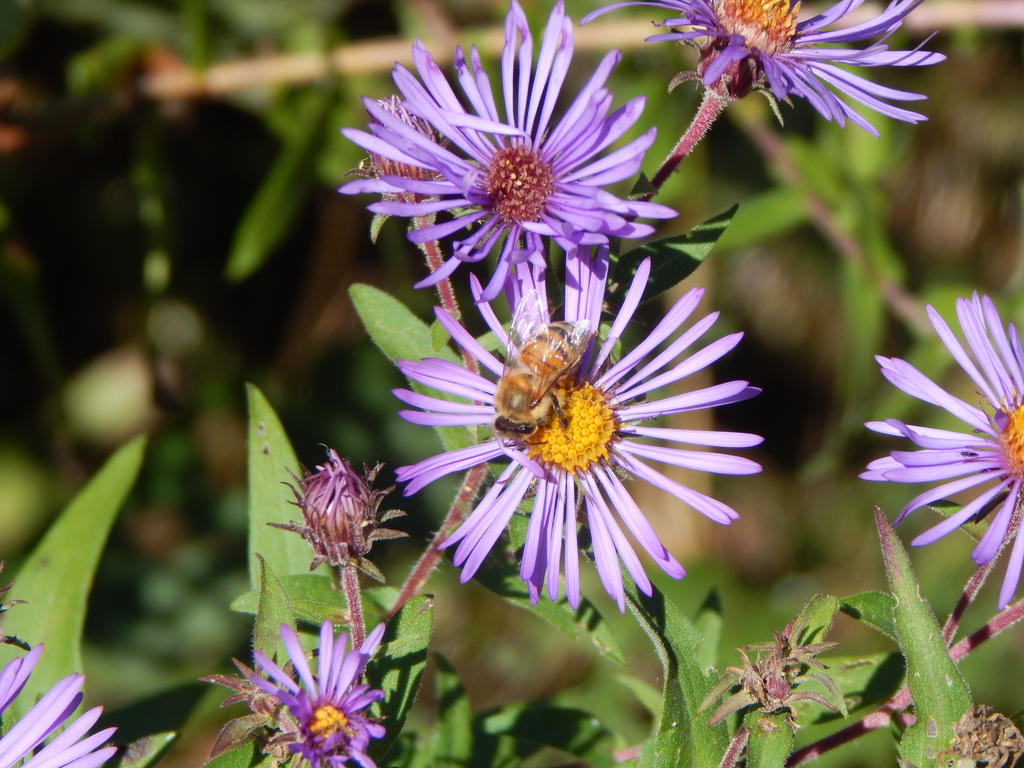 Honey Bee on a Purple Flower by Erockthahammer