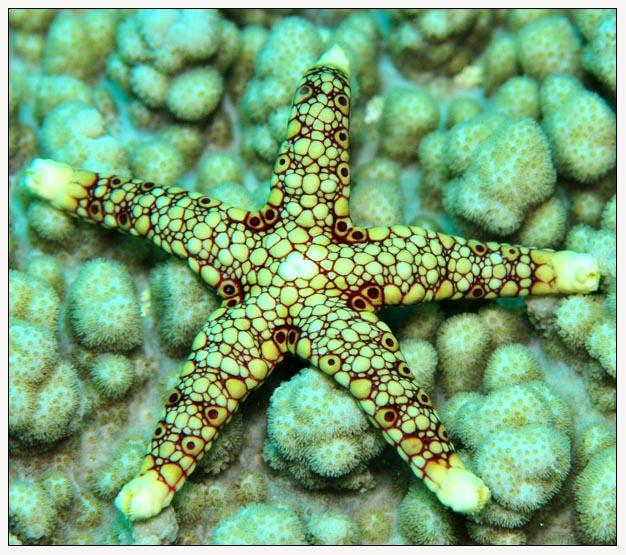 Starfish by Arathrim