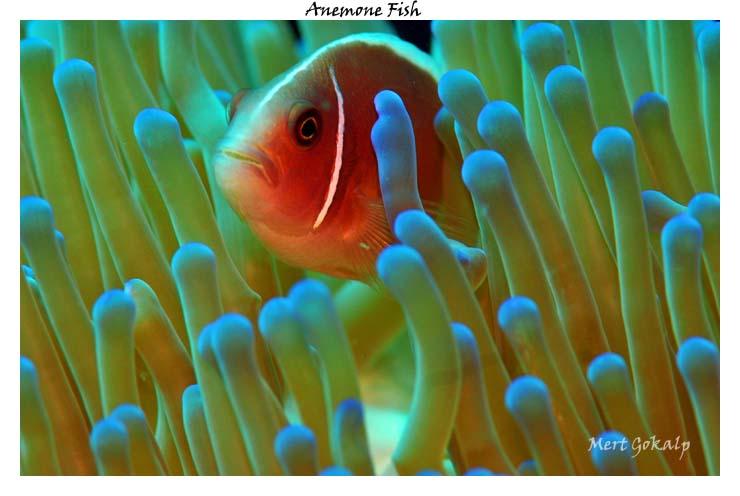 Clownfish by Arathrim