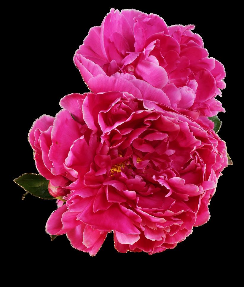 Flower. Peony. by Artoutline