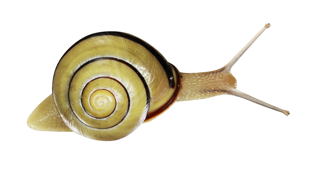 Snail. Shell. by Artoutline