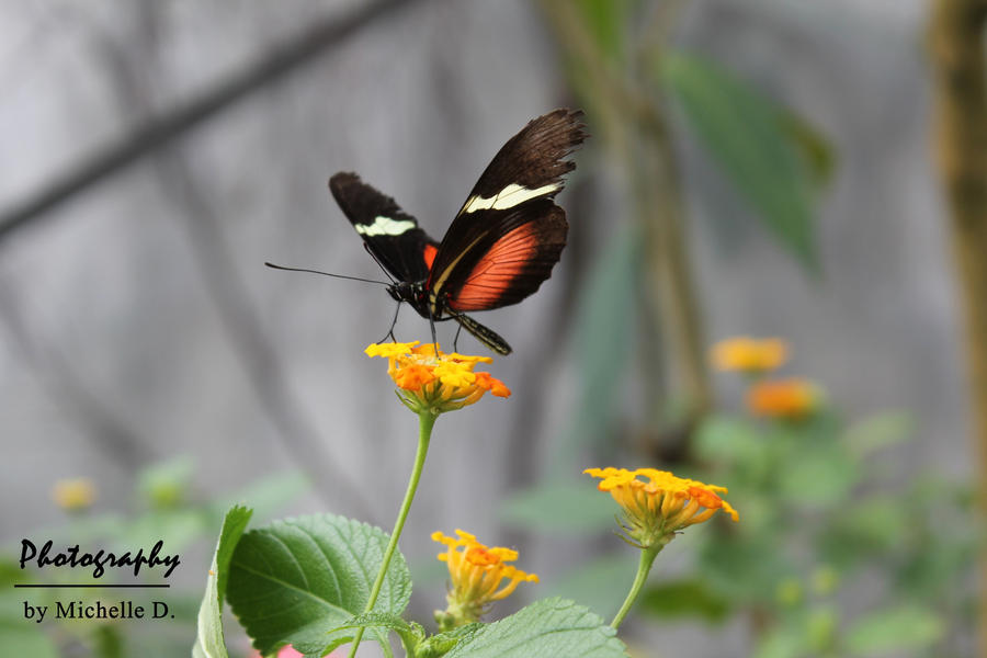 black-red butterfly by Reetroo
