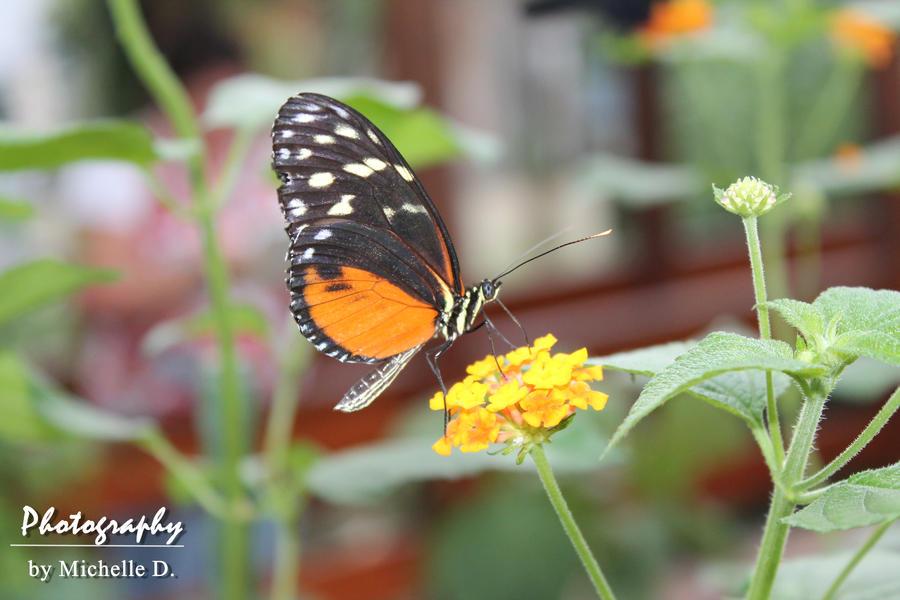 orange-black butterfly by Reetroo