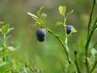 Swedish Blueberries nr.2