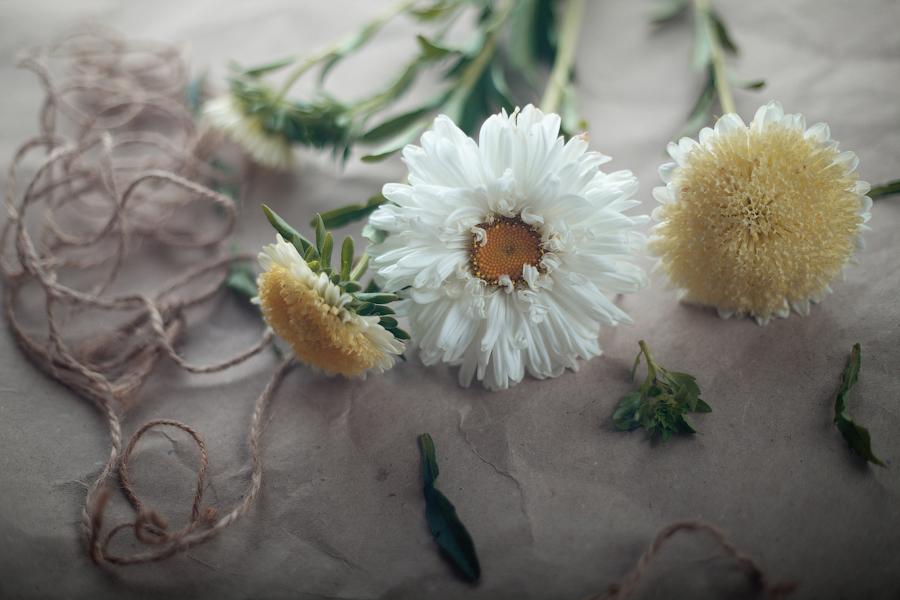 White aster by zadveri