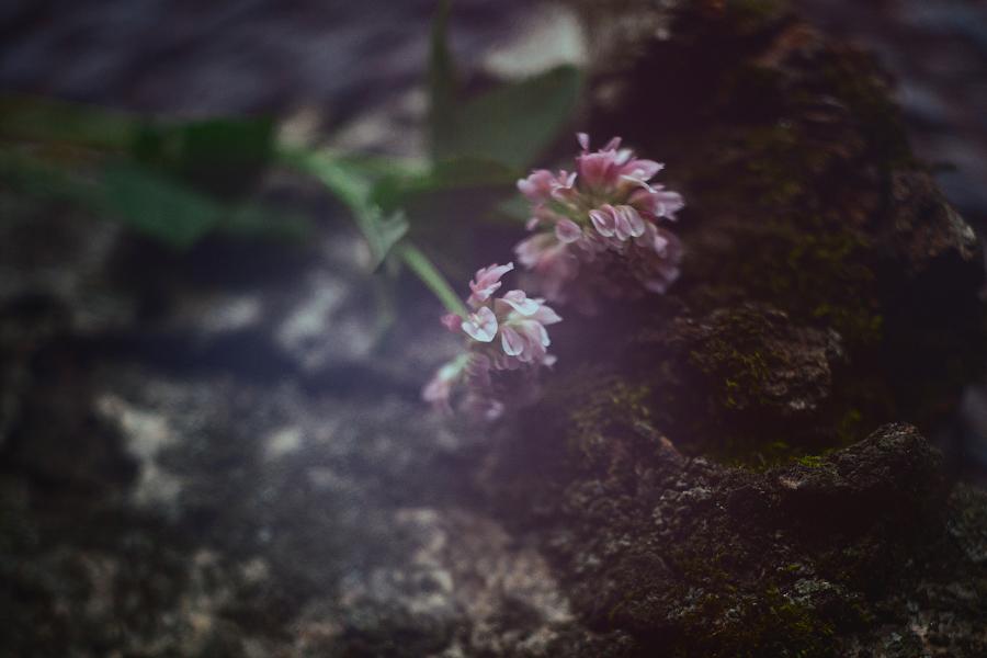 clover flower by zadveri