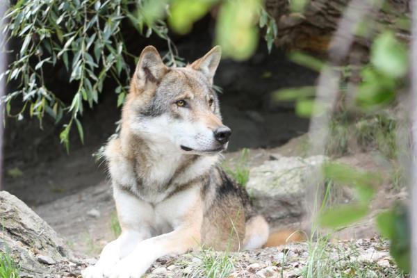 pretty wolf looking by azurehowlshilach on deviantart