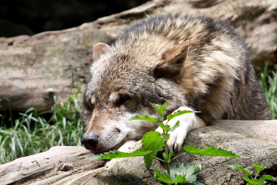 wolf sleeping elegant 9 by AzureHowlShilach