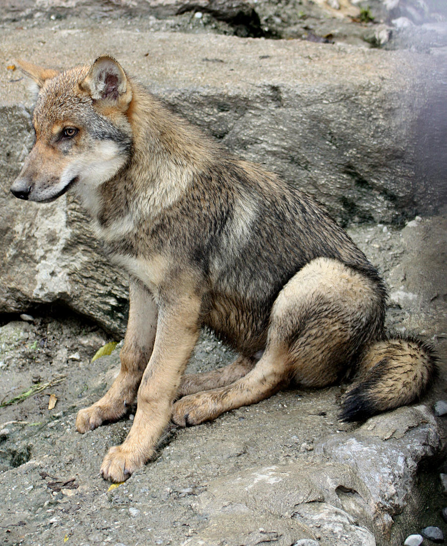 Wolf sitting down side view - photo#7