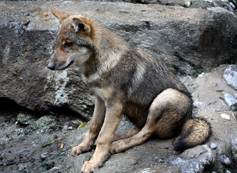 Wolf sitting down side view - photo#12